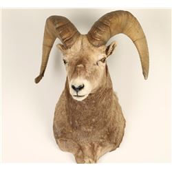 Big Horn Sheep Mount