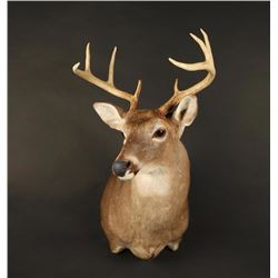 White Teil Deer Shoulder Mount