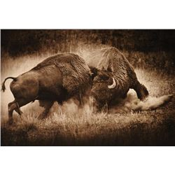 """Two Buffalo Bulls Fighting"" Print"