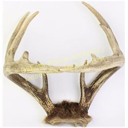 "Seldom seen Whitetail ""come together"" or cross over antlers, unusual novelty, 14"" across.  Est. 100-"