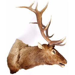 Montana Bull Elk Shoulder Trophy Mount