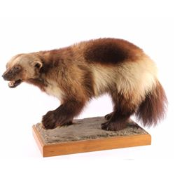 Full Body Wolverine Taxidermy Mount