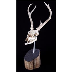 Five Point Montana White Tail Deer Skull