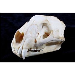 Large Montana Mountain Lion Skull