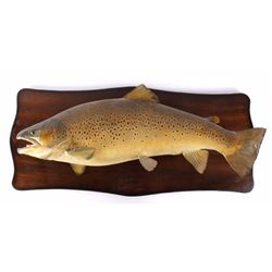 Trophy Sized German Brown Trout Real Skin Mount