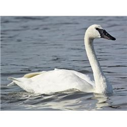 Visit the gorgeous Swan Lake, North Carolina, for a Tundra Swan hunt for 1 hunter. Wilson Stout will