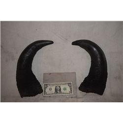 BULL STEER BUFFALO BISON MATCHED PAIR OF HORNS 2