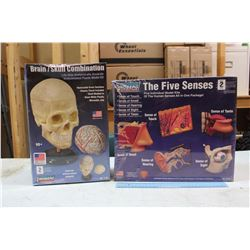 Educational Models: Human Skull & Five Senses Lindberg