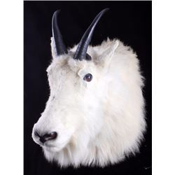 Montana Mountain Goat Taxidermy Shoulder Mount