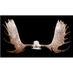 Alaskan European Moose Rack Trophy Mount