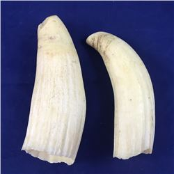 Two Antique Sperm Whale Teeth - 120mm & 105mm Length