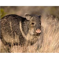 Commissioners Tag for Javelina in Arizona            * YEAR LONG ARIZONA JAVELINA TAG * GOOD STATEWI