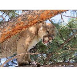 5 Day Mountain Lion Hunt for 1 Hunter in Arizona. January - March 2019. Accommodations and meals inc