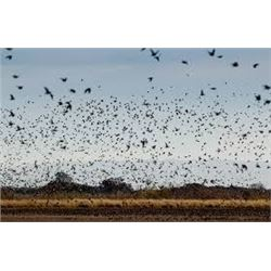 World-Class 3 Day Argentina Dove Hunt For 2 Hunters