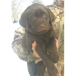 Pick of the Litter Chocolate Lab