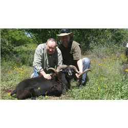 TEXAS WILD BOAR AND TROPHY RAM HUNT FOR 2 HUNTERS