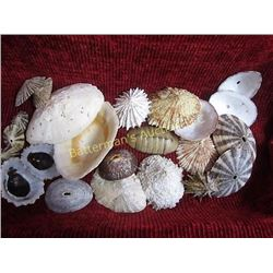 Mixed Limpet Shell Lot   22 Pieces