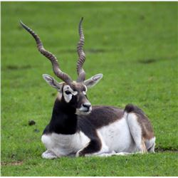Argentina – 5 Day – Black Buck, Dorset Ram and Dove Hunt for Two Hunters