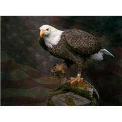 American Bald Eagle Re-Creation
