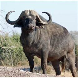 South Africa – 7 Day – Cape Buffalo Hunt for One Hunter