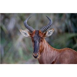 *South Africa- 5 Day – Tsessebe Bull Hunt for One Hunter and One Non-hunter