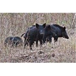 Independence ranch Texas: This is a 2 Man-3 day, 2 night wild hog hunt package