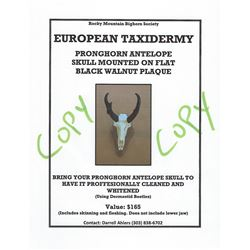 Pronghorn Antelope - Beetle Cleaned European Taxidermy