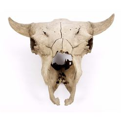 Large Alberta Taxidermy Buffalo Skull