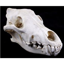 Montana Timber Wolf Taxidermy Skull