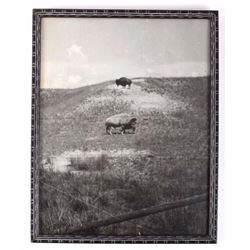 Early Montana Buffalo Photograph