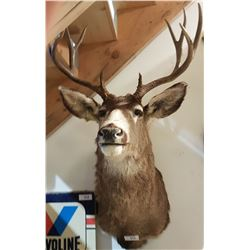 TAXIDERMY DEER MOUNT