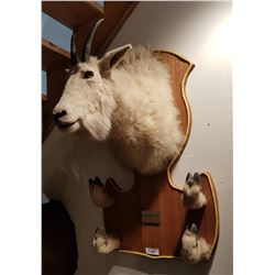 LARGE TAXIDERMY MOUNTAIN GOAT TROPHY W/PROVENANCE