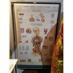 1939 ANATOMICAL CHART
