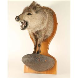 Javelina Shoulder Mount