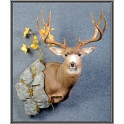 Deer Size Shoulder Mount (1), plus a European Mount