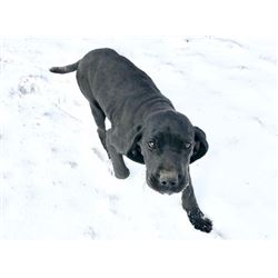 German Shorthair Puppy, female                                       STG Hunting Dogs