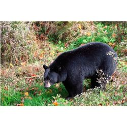 5-Day baited Bear Hunt in the Upper Pennisula of Michigan for 1 Hunter