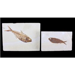Two Professionally Prepared Ancient Fish Fossils