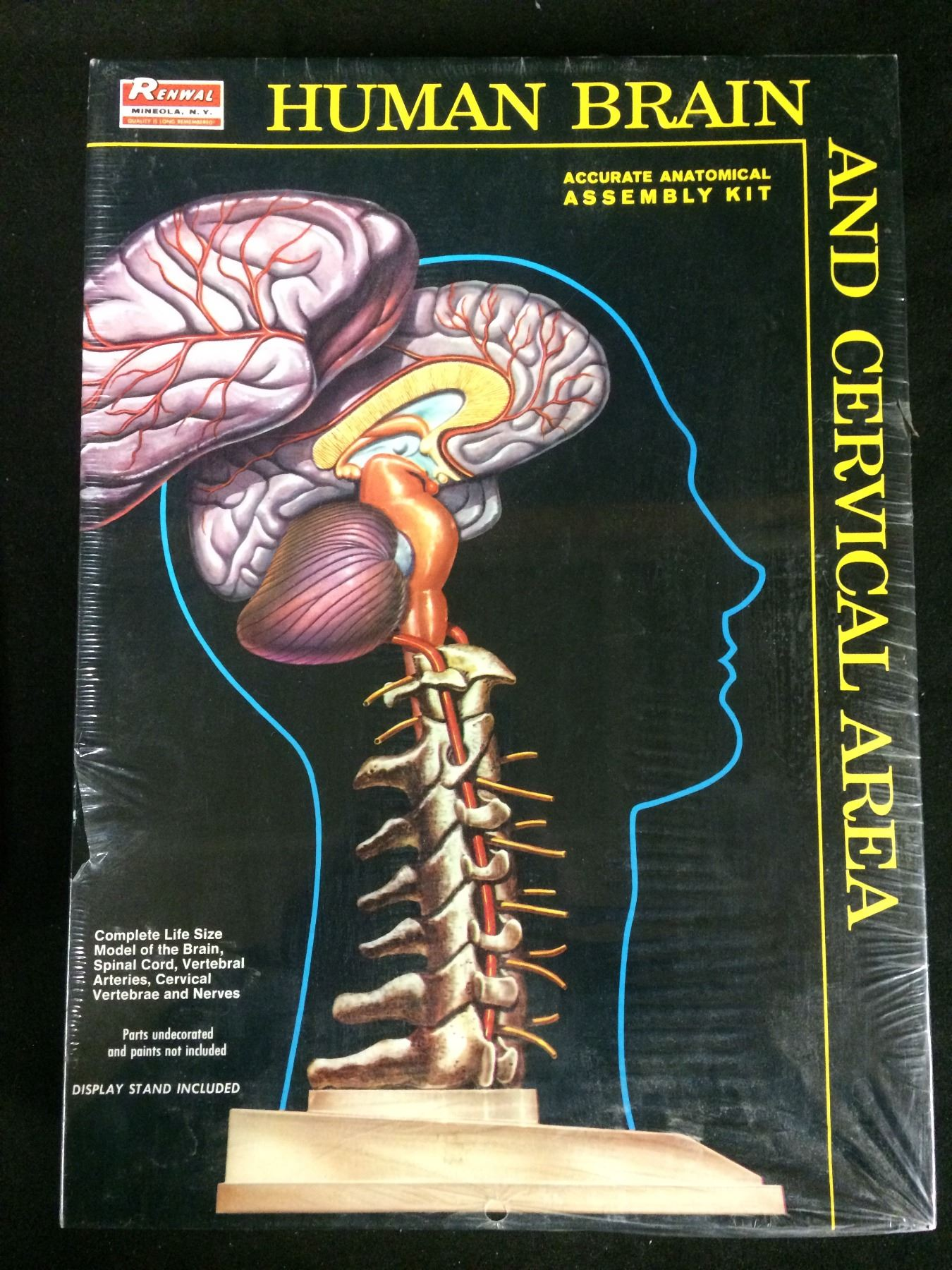 Renwal Human Brain Accurate Anatomical Assembly Kit And Cervical Area