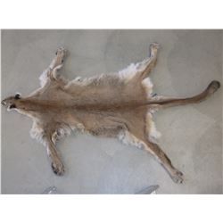 "Tanned Mountain Lion Hide- Head to Tail 89""- Across Back Legs 56""- Across Front Legs 54"""