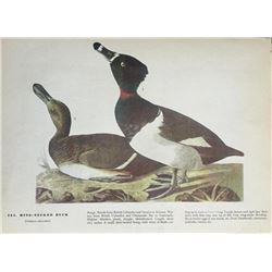 c1946 Audubon Print, #294 Ring-Necked Duck