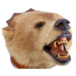 Montana Brown Bear Head Taxidermy Mount