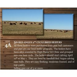 50 RED ANGUS 2ND CYCLE BRED HEIFERS