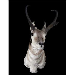 Trophy Montana Pronghorn Taxidermy Shoulder Mount
