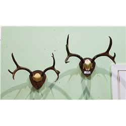 TWO MOUNTED DEER ANTLERS