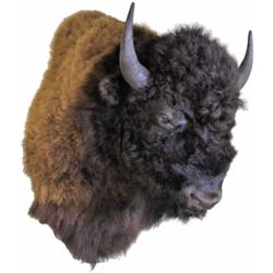 Large shoulder mount American Buffalo