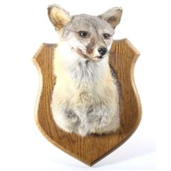 South Western Kit Fox Taxidermy Mount