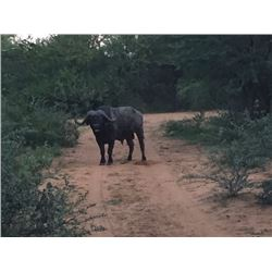 Cape Buffalo Hunt for 1 hunter 3 Observers in South Africa