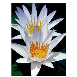 Water Lily Duet by Davis, Brian