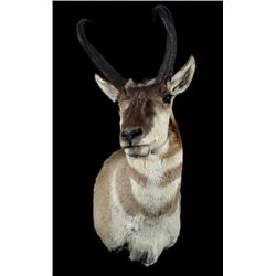 Montana Pronghorn Taxidermy Shoulder Mount